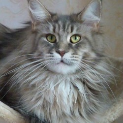 chats-maine-coon-335f716d-0ef2-66e4-2daa-053f8c183704