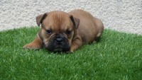 chiot male (135)