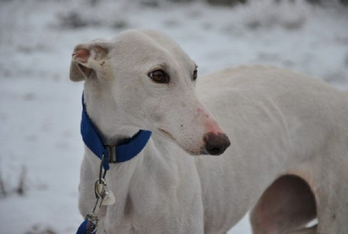 Chance Levrier Type Galgo A Adopter